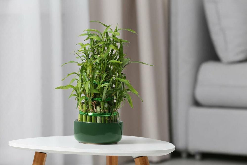 Комнатный бамбук – растение счастья, фото № 2