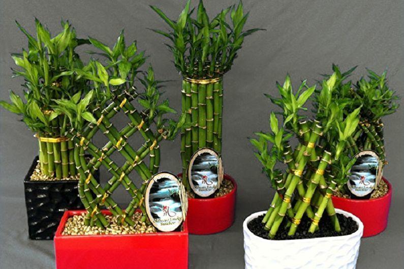 Комнатный бамбук – растение счастья, фото № 13