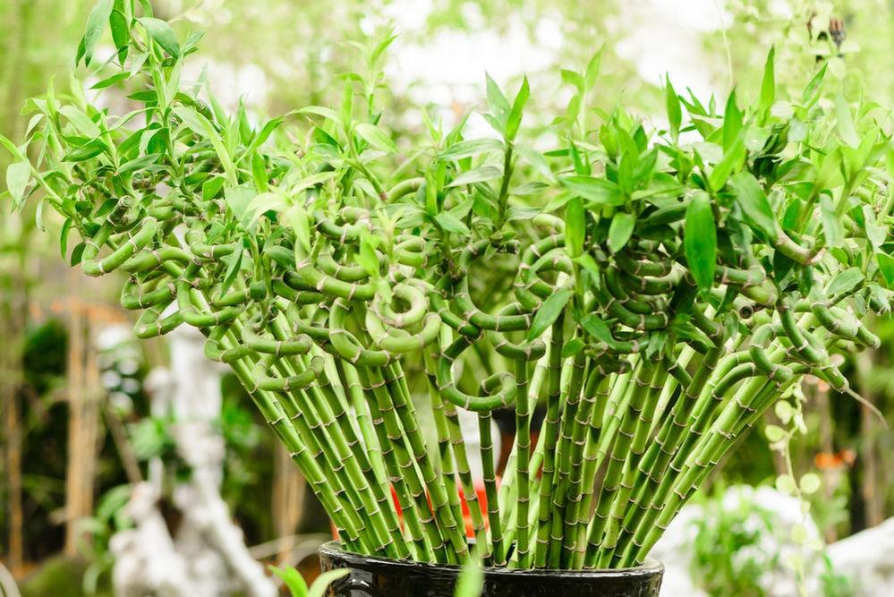 Комнатный бамбук – растение счастья, фото № 1