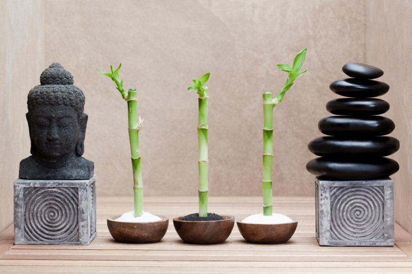Комнатный бамбук – растение счастья, фото № 14