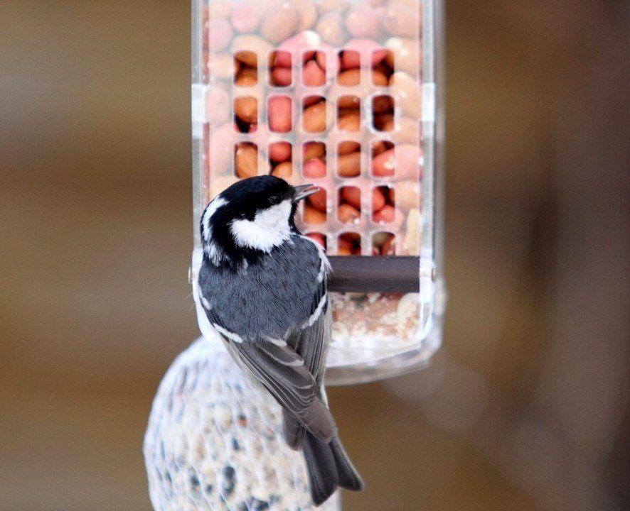арахис, подкормка птиц