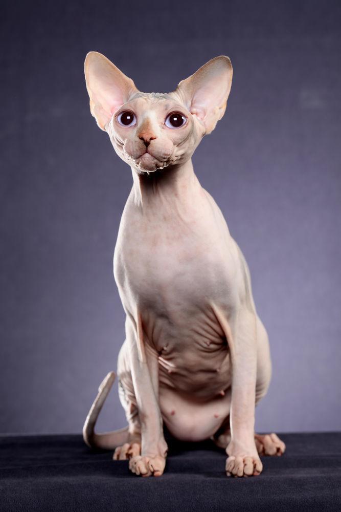 лучшие фото кошек сфинксов поставщика информацию, будет