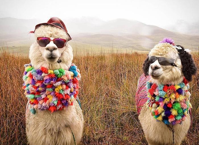 Лама или альпака? 15 интересных фактов и идей для творчества, фото № 1