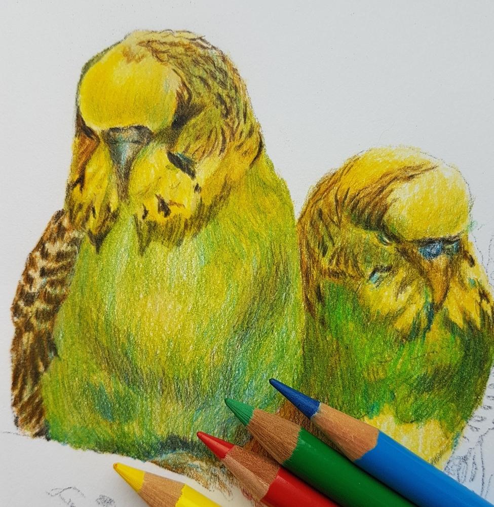 Рисунок: попугаи волнистые, фото № 4