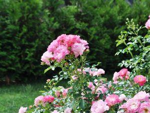 Как хороши, как свежи были розы в моем саду! Как взор прельщали мой!. Ярмарка Мастеров - ручная работа, handmade.