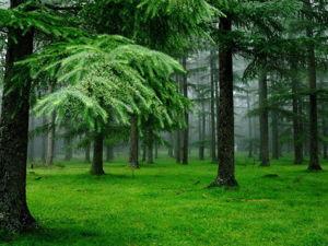 Целительные свойства хвойных лесов. Ярмарка Мастеров - ручная работа, handmade.