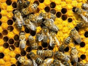 Интересные факты о пчелах. Ярмарка Мастеров - ручная работа, handmade.