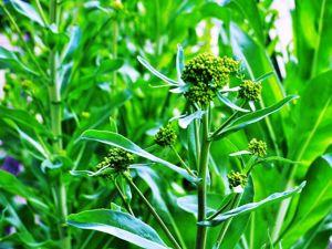 В ПОЛЦЕНЫ. Гидролат усьмы листьев и цветков. Предзаказ до 23 мая. От 500 мл. Ярмарка Мастеров - ручная работа, handmade.