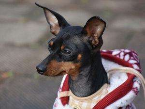 Одежда для собак своими руками: 7 мастер-классов + много полезного!. Ярмарка Мастеров - ручная работа, handmade.