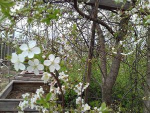Зацветает вишня и персик. Огородные и другие работы и занятия. Ярмарка Мастеров - ручная работа, handmade.