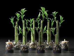 Комнатный бамбук – растение счастья. Ярмарка Мастеров - ручная работа, handmade.