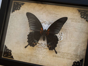 Тропическая бабочка  «Парусник Леви»  (Papilio lowi) в черной рамке. Ярмарка Мастеров - ручная работа, handmade.