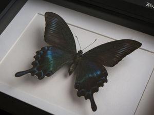 Парусник Маака (лат. Papilio maackii) в рамке. Ярмарка Мастеров - ручная работа, handmade.