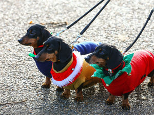 Dachshunds Invasion: Hundreds Of Dogs In Costumes Took Part In London's Hydepark Sausage Walk Festival. Livemaster - handmade