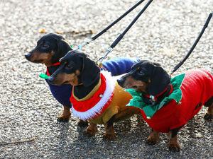 Нашествие такс: сотни собак в костюмах приняли участие в лондонском фестивале Hydepark Sausage Walk. Ярмарка Мастеров - ручная работа, handmade.