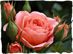 Аукцион на 'Розы от Валентина' (завершён). Ярмарка Мастеров - ручная работа, handmade.