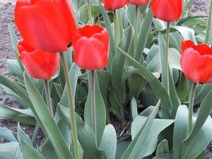 Тюльпаны этой Весны. Ярмарка Мастеров - ручная работа, handmade.