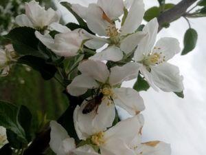 Пчёлы, яблони, май, пыльца!. Ярмарка Мастеров - ручная работа, handmade.