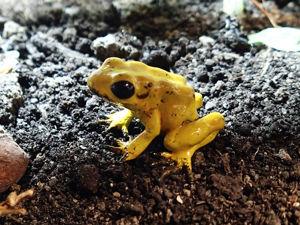 Лепим самую ядовитую лягушку на планете. Ярмарка Мастеров - ручная работа, handmade.