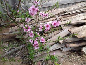 Зацветает вишня и персик. Огородные и другие работы и занятия. Часть 2. Ярмарка Мастеров - ручная работа, handmade.