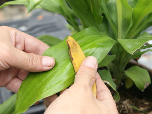 3 причины не выкидывать банановую кожуру, а использовать ее в быту. Ярмарка Мастеров - ручная работа, handmade.