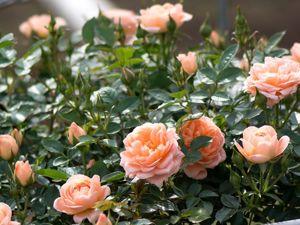 История одного цветка – Роза. Ярмарка Мастеров - ручная работа, handmade.