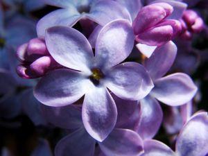 Моя Сиреневая Весна. Ярмарка Мастеров - ручная работа, handmade.