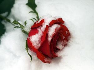 Символ любви! Аукцион на розы!. Ярмарка Мастеров - ручная работа, handmade.