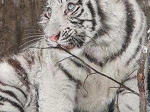 РИСУЕМ двух тигрят тушью и акварелью.. Ярмарка Мастеров - ручная работа, handmade.