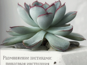 Размножение листиками: пошаговая инструкция. Ярмарка Мастеров - ручная работа, handmade.