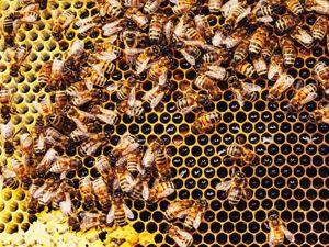 Что такое ПОДМОР пчелиный? Лечение суставов. Ярмарка Мастеров - ручная работа, handmade.