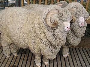 Что за зверь такой меринос? Чудесные свойства шерсти. Ярмарка Мастеров - ручная работа, handmade.