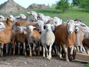 Немного занимательных фактов об овечьей шерсти. Ярмарка Мастеров - ручная работа, handmade.
