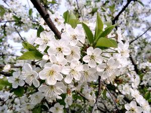 Пришла прекрасная пора цветущей вишни. Ярмарка Мастеров - ручная работа, handmade.