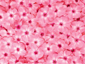 Розовый цвет. Ярмарка Мастеров - ручная работа, handmade.