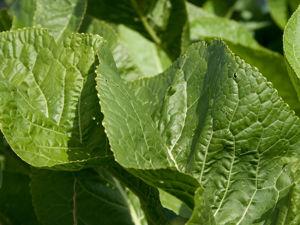 Лечит Радикулит и Ишиас  —  листья хрена.Старорусские рецепты. Ярмарка Мастеров - ручная работа, handmade.