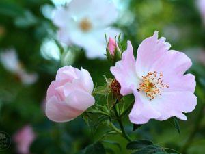 Роза собачья, шиповник собачий (Rosa canina). Ярмарка Мастеров - ручная работа, handmade.