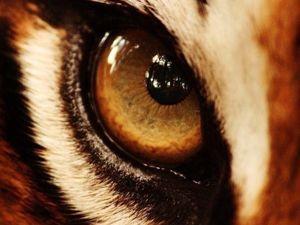Тигровый глаз. Ярмарка Мастеров - ручная работа, handmade.