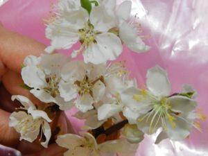 Лепим цветы абрикоса из полимерной глины: видео мастер-класс. Ярмарка Мастеров - ручная работа, handmade.