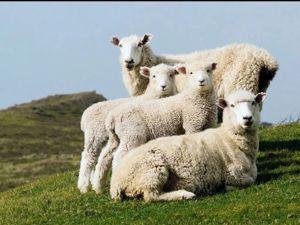 Польза овечьей шерсти. Ярмарка Мастеров - ручная работа, handmade.