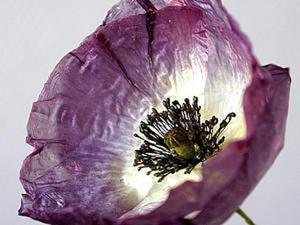 Мастер-класс: как высушить цветок мака, чтобы его лепестки не помялись при сушке. Ярмарка Мастеров - ручная работа, handmade.