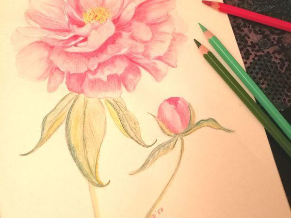 Нежный розовый пион акварельными карандашами | Ярмарка Мастеров - ручная работа, handmade