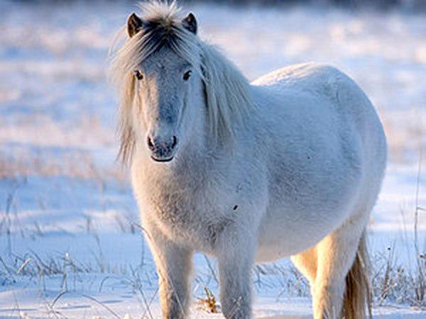 ТОП-15 красивейших пород лошадей. Моя личная версия. | Ярмарка Мастеров - ручная работа, handmade
