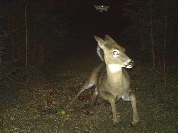 Уберите камеру! 16 тайных ночных кадров из жизни леса, которым позавидовали бы папарацци   Ярмарка Мастеров - ручная работа, handmade
