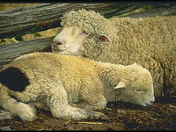 Целебные свойства шерсти   Ярмарка Мастеров - ручная работа, handmade
