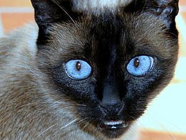Рисуем реалистичную радужку глаза для сиамской кошки в технике фрактальной графики | Ярмарка Мастеров - ручная работа, handmade