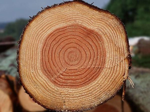 Сосна дерево, ее свойства и особенности | Ярмарка Мастеров - ручная работа, handmade