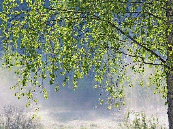 Белая береза. Редкие виды и интересные факты | Ярмарка Мастеров - ручная работа, handmade