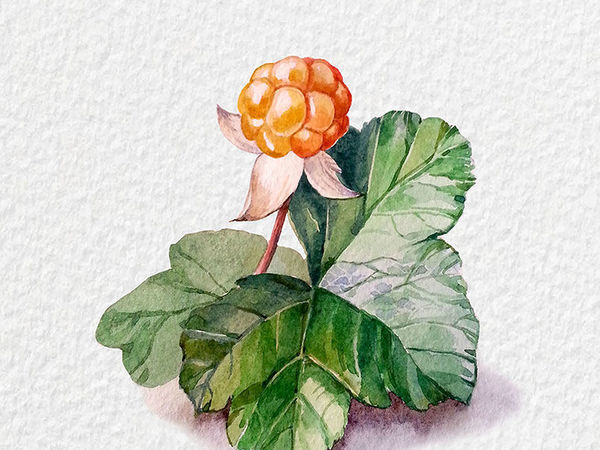 A Simple Guide on Drawing a Watercolour with Cloudberries | Livemaster - handmade