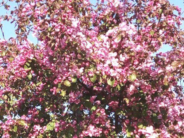 Весна! У нашего дома снова цветет сакура!   Ярмарка Мастеров - ручная работа, handmade